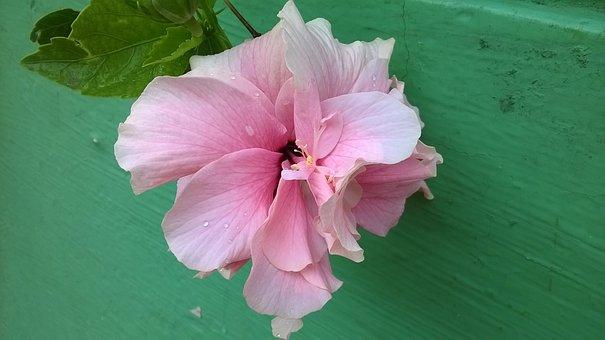 Tulipa, Tulip, Filling, Hibiscus, Rosa-sinensis