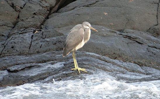 Western Reef Egret, Bird, Western Reef Heron