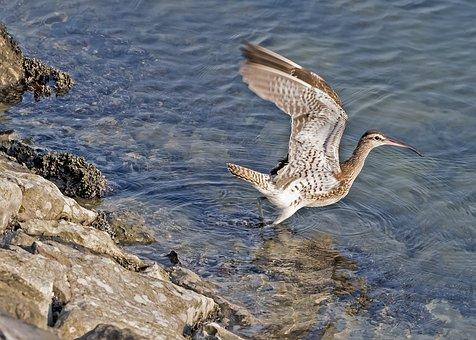 Long Billed Curlew, Bird, Flying, Curlew, Wildlife