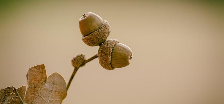 Acorns, Oak, Nature, Acorn, Green, Autumn, Branch, Tree