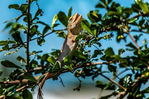 Chameleon, Wild, Animal, Nature, Asia, Brown, Tropical