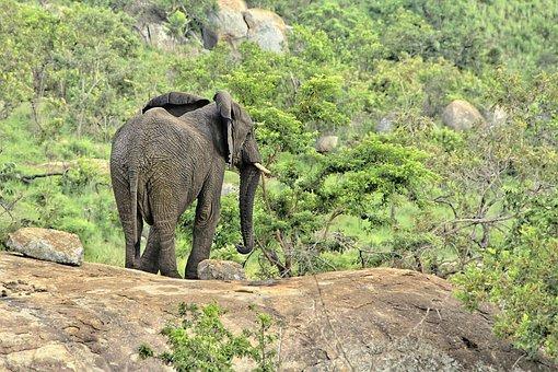 Elephant, Safari, Africa, Animal, Nature, Animal World