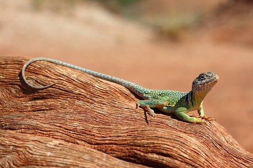 Lizard, Reptile, Animal, Desert, Iguana, Nature, Green