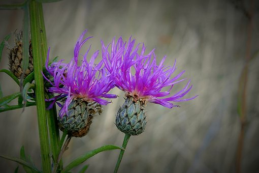 Thistles, Meadow, Autumn, Flower, Barbed, Purple, Plant