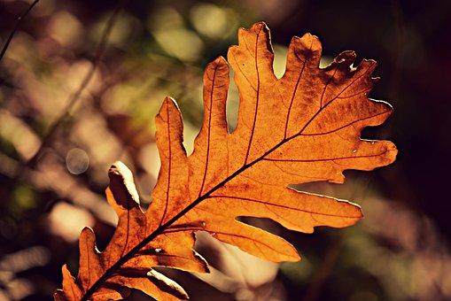 Acorn Leaf, Autumn Color, Vein, Pattern, Golden, Fall