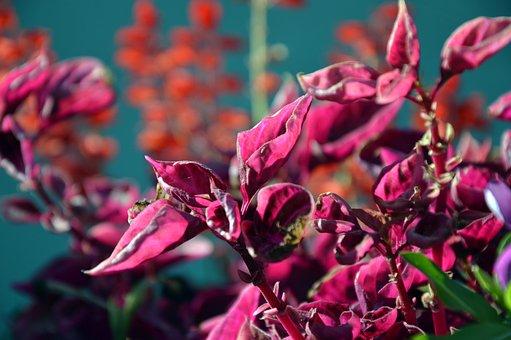 Plant, Ornamental Plant, Container Plant, Balcony Plant