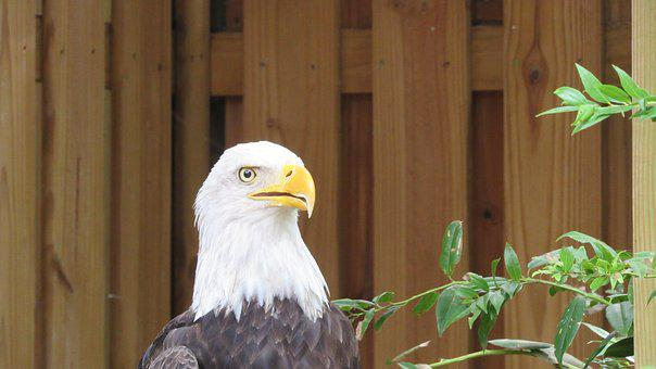 Eagle, Bald Eagle, Bird, Raptor, Animal, Nature
