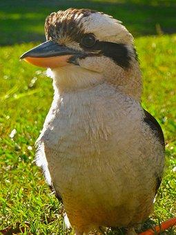 Kookaburra, Laughing, Australian, Kingfisher, Bird