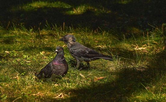 Birds, Jackdaw, Dove
