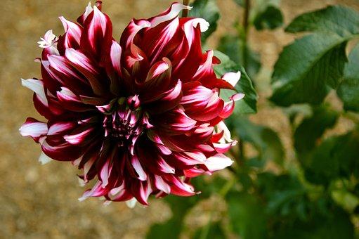 Dahlia, Flower, Blossom, Bloom, Bloom, Dahlia Garden