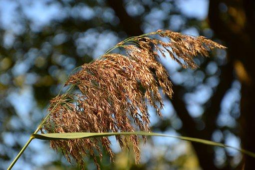 Reed, Tube, Phragmites, Grasses, Süssgräser, Blossom