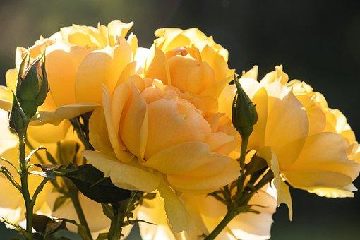 Roses, Blossom, Bloom, Rose Bloom, Plant
