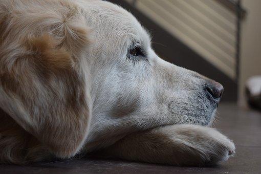 Dog, Golden Retriever, Retriever, Animal, Bored