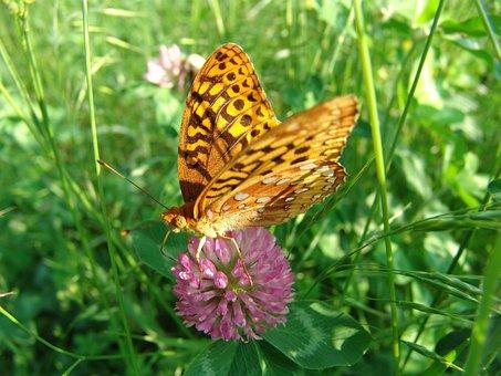 Butterfly, Flower, Summer, Great Spangled Fratilary
