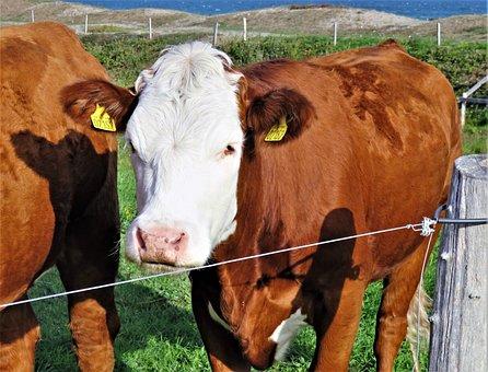 Cow, Calf, Beef, Cattle, Ruminant, Mammal, Livestock