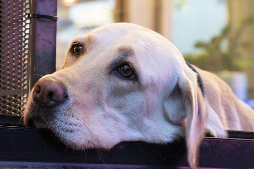 Dog, Pet Dogs, Canine Companion, Stare, Consensus, Pets