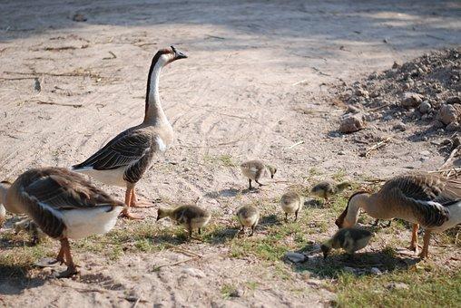 Goose, Chicken, Chicks, Animal, Bird, Chick, Waterbird