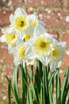 Daffodil, Flowers, Nature, Garden, Bloom, Plant