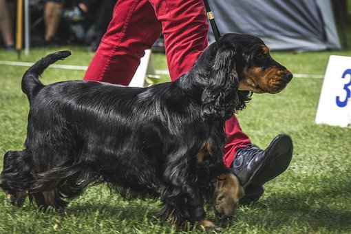 Dog, Doggy, Favorite, Dog Show, Exhibition, Dogs, Coker