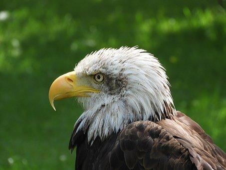 Eagle, Ave, Nature