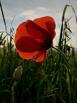 Poppy, Flower, Field, Summer, Red, Exterior, Grass