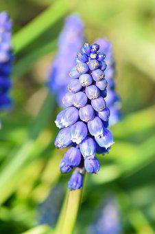 Muscari, Spring, Garden, Bloom, Flower, Blue, Blossom