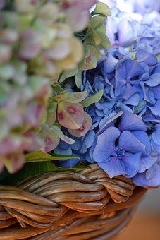 Hydrangeas, Flowers, Flower, Flowering