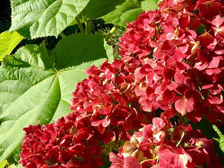 Hydrangea, Flower, Autumn, Garden, Dark Pink