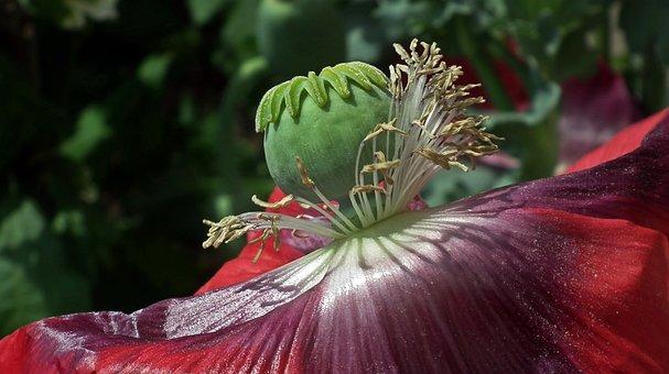 Poppy, Flower, Makowka, Purple, Summer, Garden