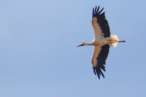 Stork, Flying, Sky, Wing, Air, Freedom, Nature, Bird