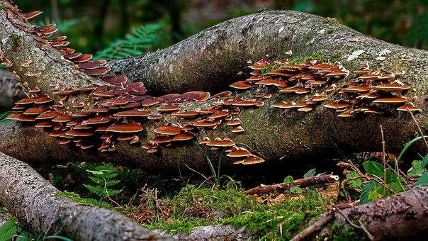 Mushroom, Log, Forest, Tribe, Mushrooms, Tree Fungi