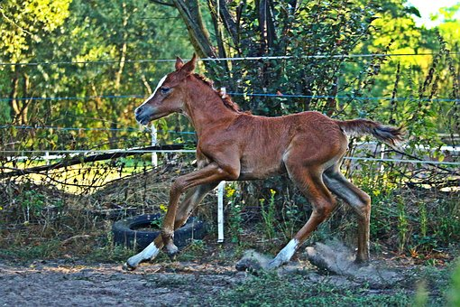 Foal, Horse, Gallop, Fuchs, Suckling