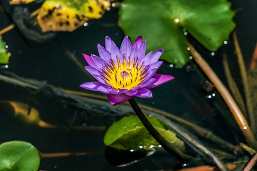 Purple, Lotus, Flower, Water, Garden, Lily, Nature