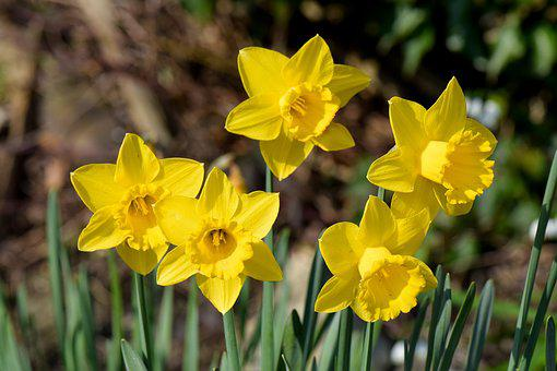 Daffodils, Flowers, Spring, Nature, Garden, Bloom