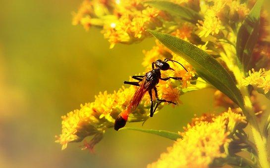 Grzebaczowate, Błonkówka, Insect, Flower, Nectar