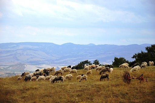Tuscany, Sheep, Landscape, Nature, Hills, Prato