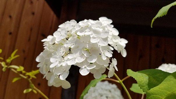 Hydrangea, Summer, White, Flowers, Rainy Season, Japan