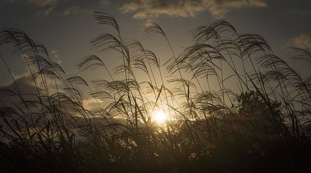 Silver Grass, Autumn, Nature, Plants, Reed, In Autumn
