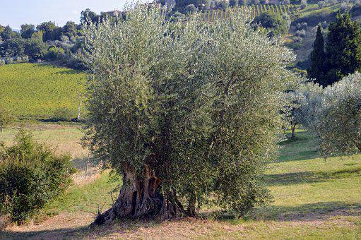Campaign, Tuscany, Olive, Olive Tree, Nature, Italy
