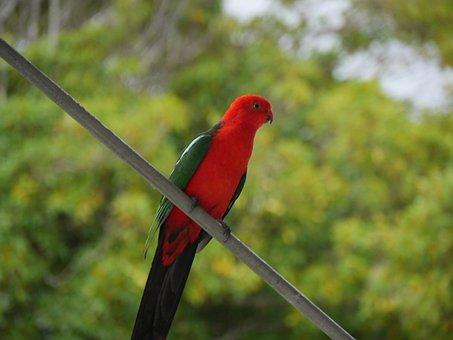 Australia, King, Parrot