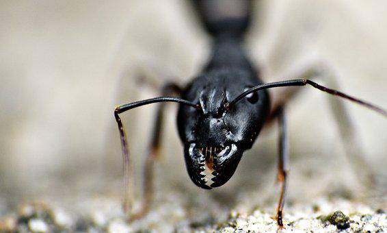 Jaws, Black Ant, Insect, Garden Ant, Lasius Niger