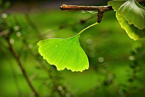 Ginkgo Biloba, Leaf, Branch, Tree, Autumn, Light Green