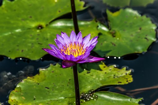 Purple, Lotus, Flower, Water, Garden, Lily, Nature
