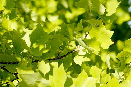 Maple, Maple Leaves, Nature, Tree, Shining, Green