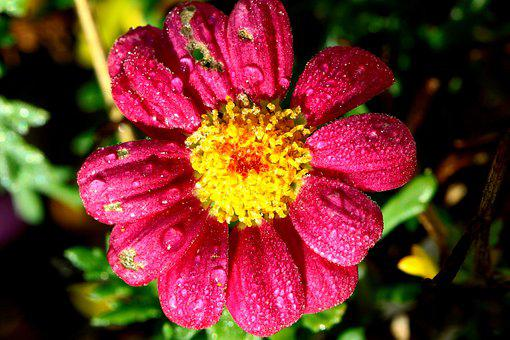 Margarite, Flower, Pink, Yellow, Wet, Imperfect, Moist