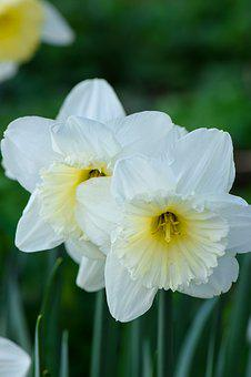 Daffodils, Flowers, Nature, Spring, Garden, Bloom