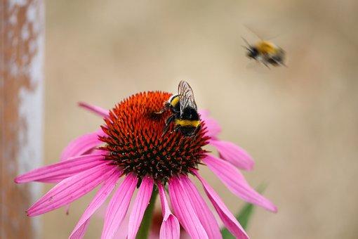 Echinacea, Bumble Bee, Coneflower, Pallida, Blossom