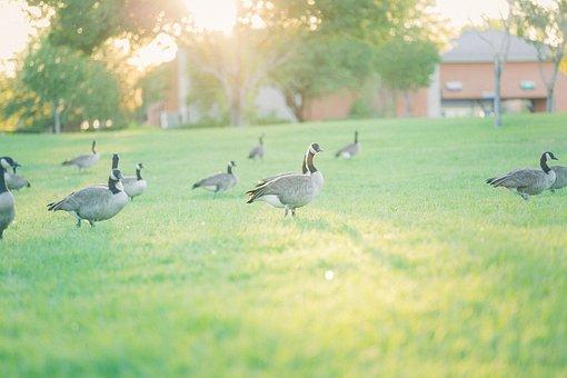 Park, Geese, Nature, Grass, Animal, Goose, Lake
