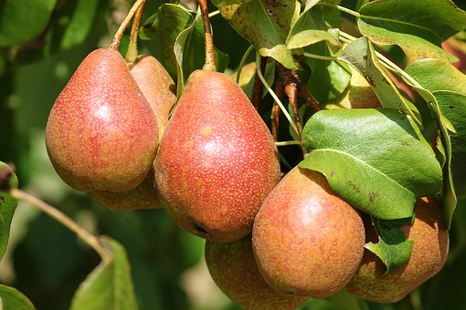 Pears, Fruit, Pyrus, Pear, Depend, Mature, Green, Red