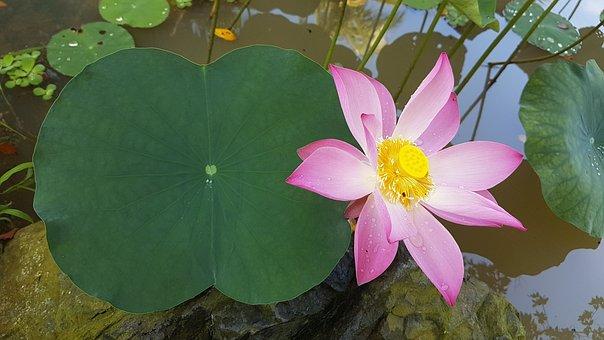 Lotus, Flower, Water, Leave, Plant, Zen, Green, Pink
